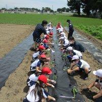 3年生 サツマイモの苗植え